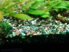 Blue green algae (Cyanobacteria)