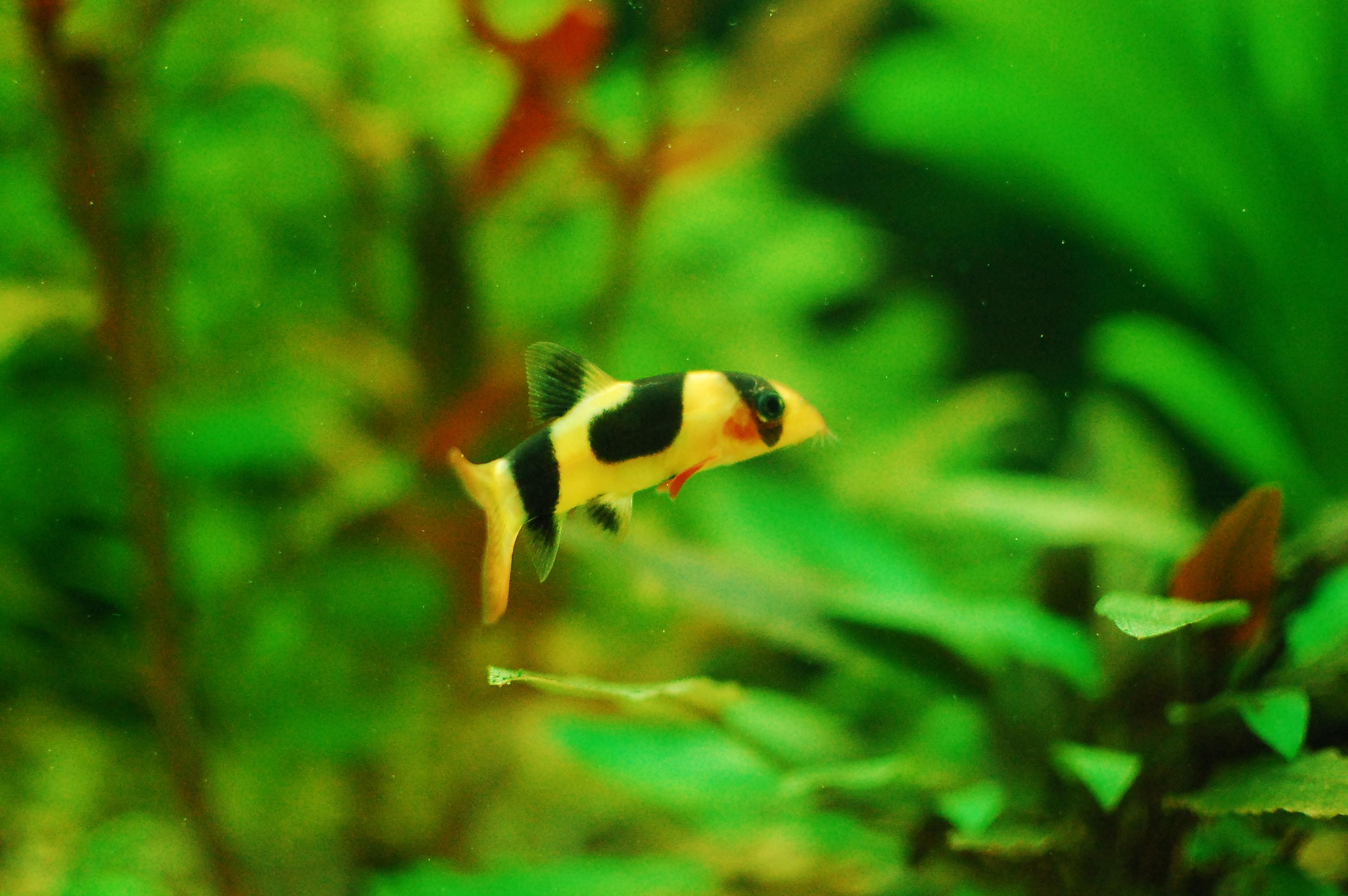 Clown loach freshwater aquarium talk for Freshwater clown fish