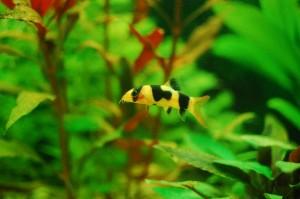 Our clown loach fish
