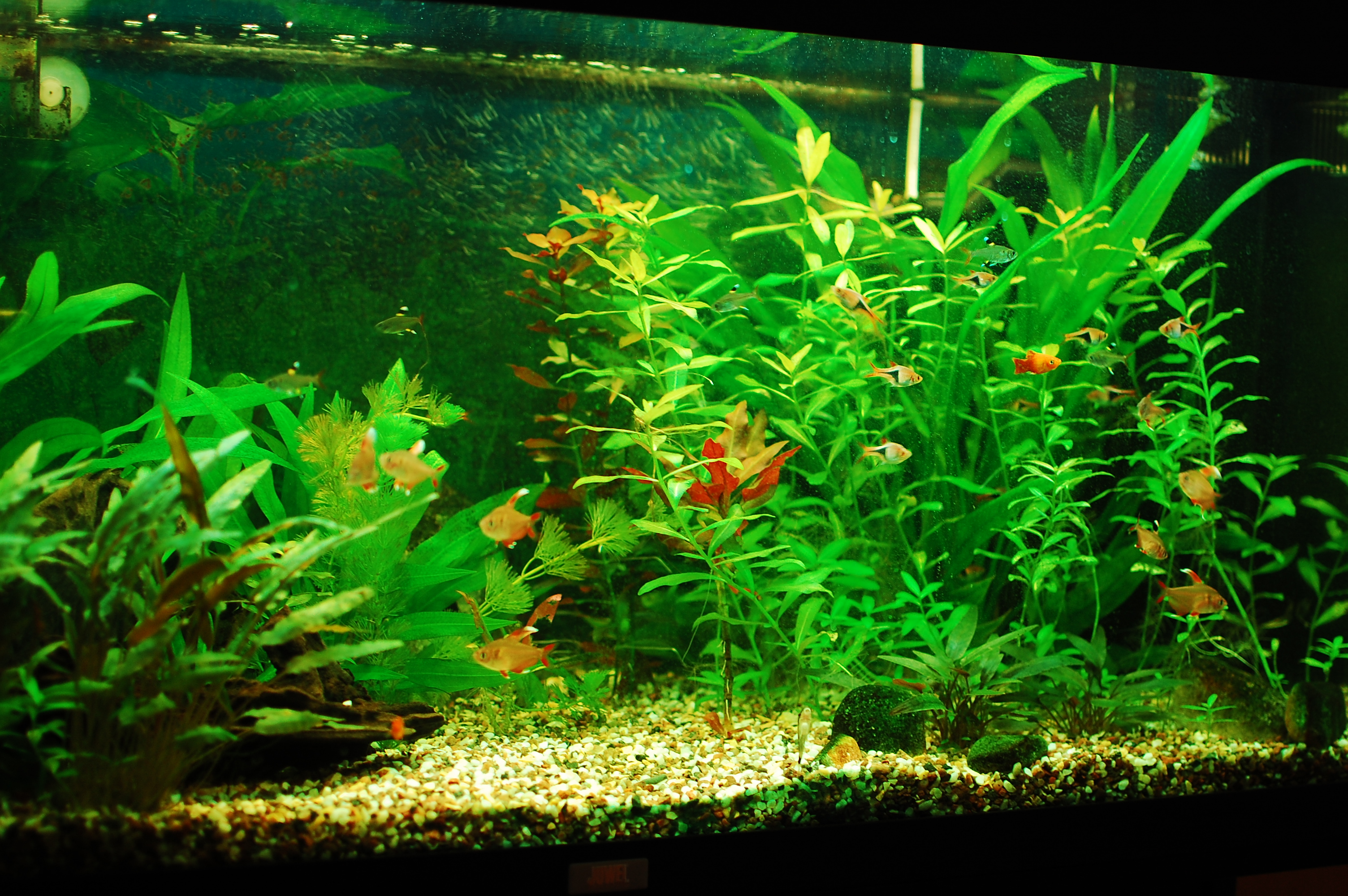 Our freshwater aquarium, 30.7.2011